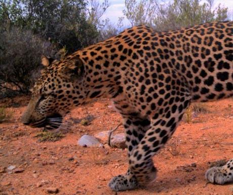 cape leopard 'Hugo' Cape Leopartd Trust
