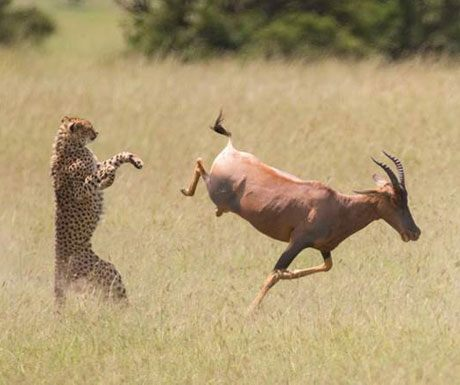 cheetah_hunt_kicheche-pergunnerostby