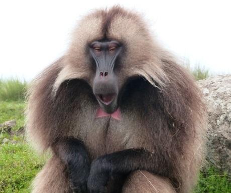baboon-ethiopia
