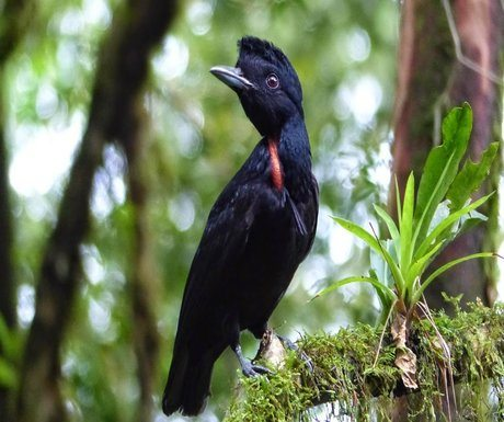 bare-necked-umbrella-bird