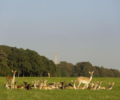 deer-in-phoenix-park-dublin