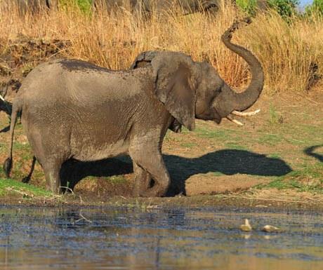 elephant-kafue-river