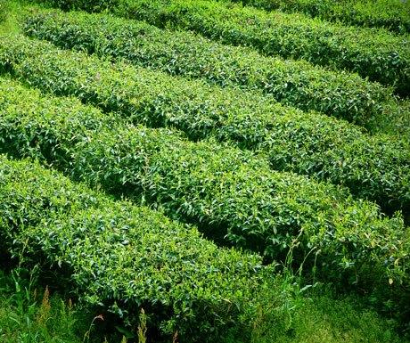 Tea Fields Japan