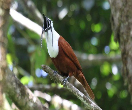 three-wattled-bellbird