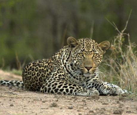 10-luangwa-leopards