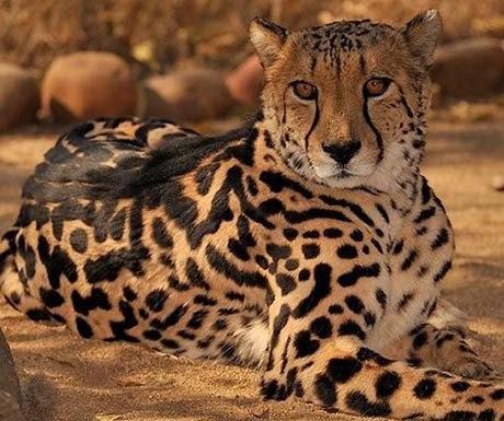 Cheetah viewing on safari