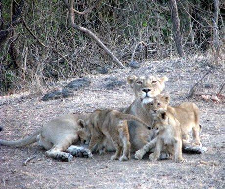 Lion- n the Gir National Park, Gujarat