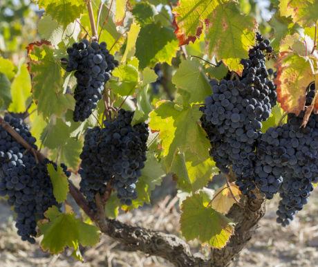 Vineyard browsing