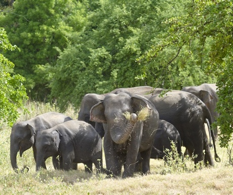 wasgamuwa-national-park-experience-travel-group-sri-lanka-elephants-resized