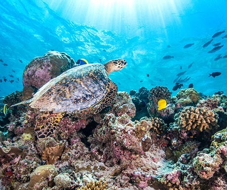 Jumeirah Vittaveli Turtle Underwater