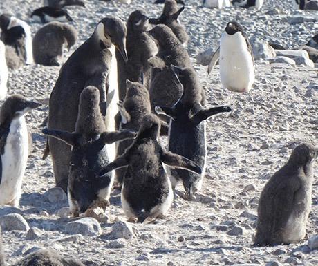 9-two-penguin-species