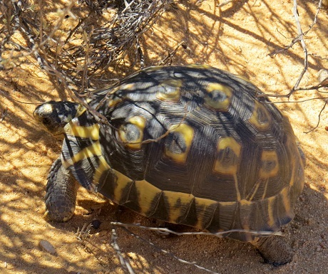 Kagga Kmma, tortoise
