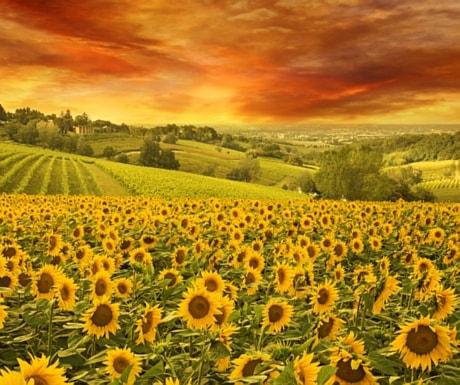 Tuscany Sunflowers