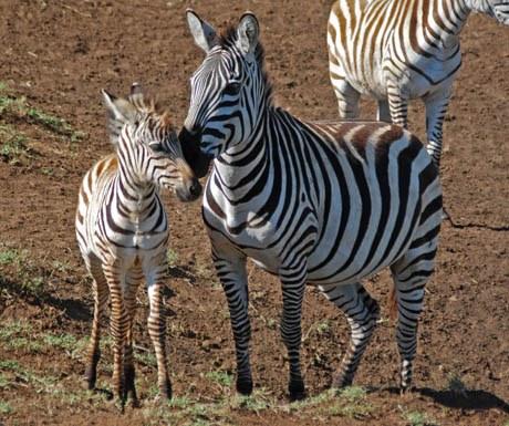 Baby zebra in Ngorongoro