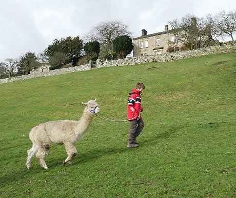 Hazel Brow alpaca trek