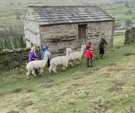 Hazel Brow alpaca trekking