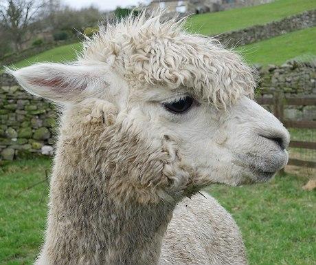 Hazel Brow alpaca