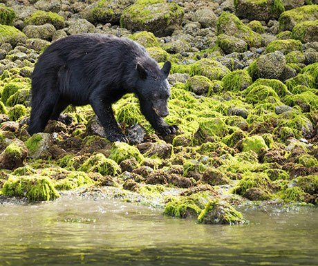 P17---Change-top-right-image-for-this---Bear-in-Tofino