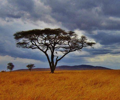 Safari Serengeti Tanzania Acacia Tree Africa