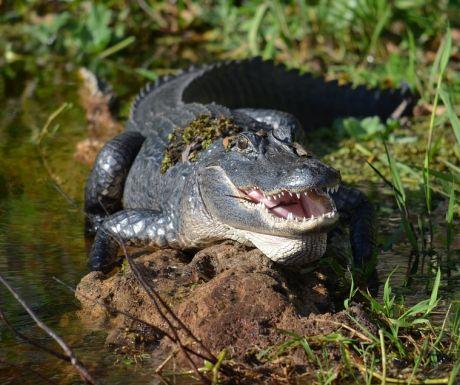 Alligator St Johns River Lake Monroe Deltona Gators