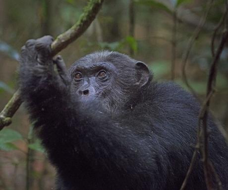 Chimpanzee Mahale Mountains