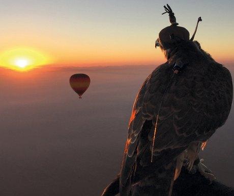 Dubai falcon