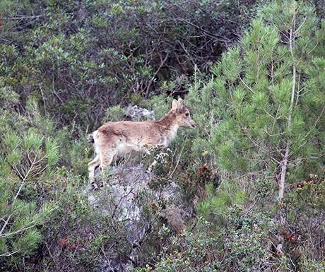 Mountain goats Els Ports Natural Park