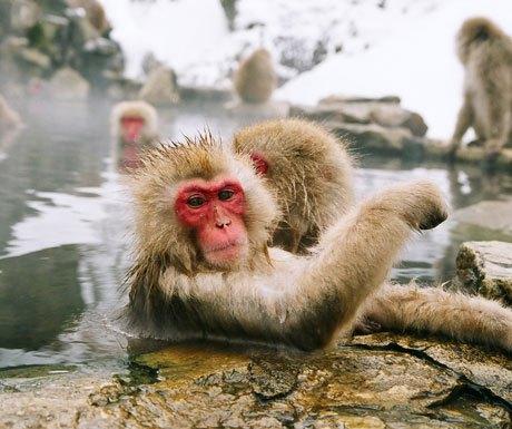 Snow monkeys in Yudanaka, Japan