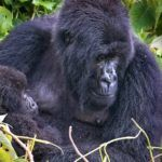 How to plan a gorilla trek in Africa