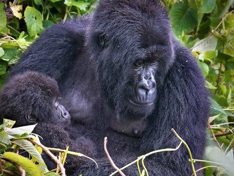 mountain-gorilla-with-infant