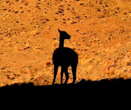 1 Camelids
