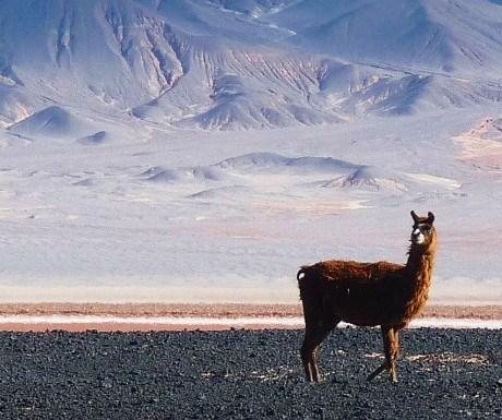 2 Llamas