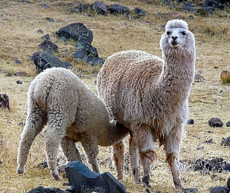 6 Camelid