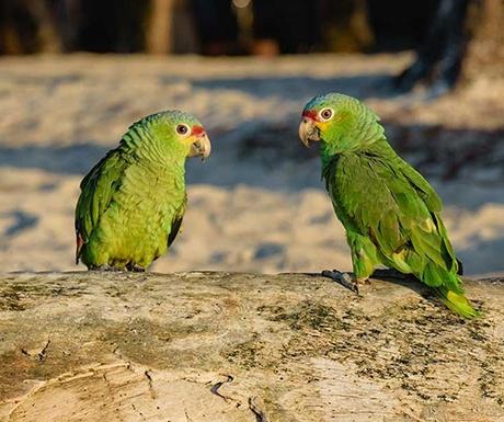 Calala private island parrots