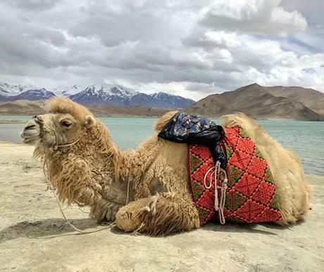 Camel at Karakul Lake, China