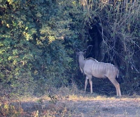 Five luxury lodges,Ngepi, Mahango,kudu
