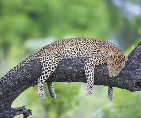 Leopard, South Luangwa National Park, Zambia