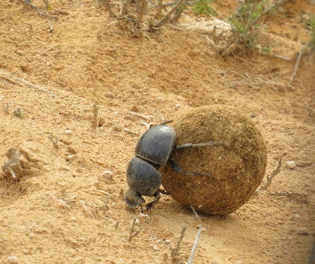 Southern Cape, Addo, dung beetle