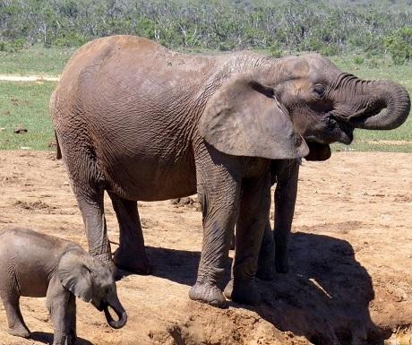Southern Cape, Nyathi, elephants
