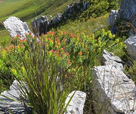 Hemel-en-aarde-wine-estates-fynbos