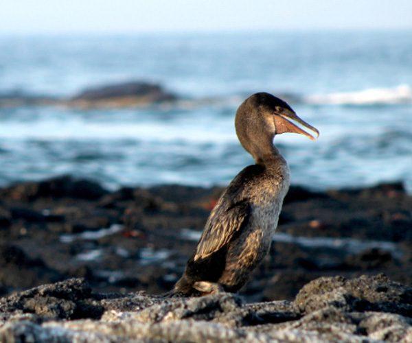the-flightless-cormorant