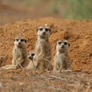Meerkats aren't such nice guys... and 12 other Kalahari facts