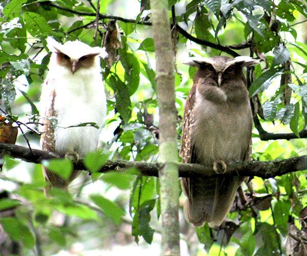 Crested-Owl