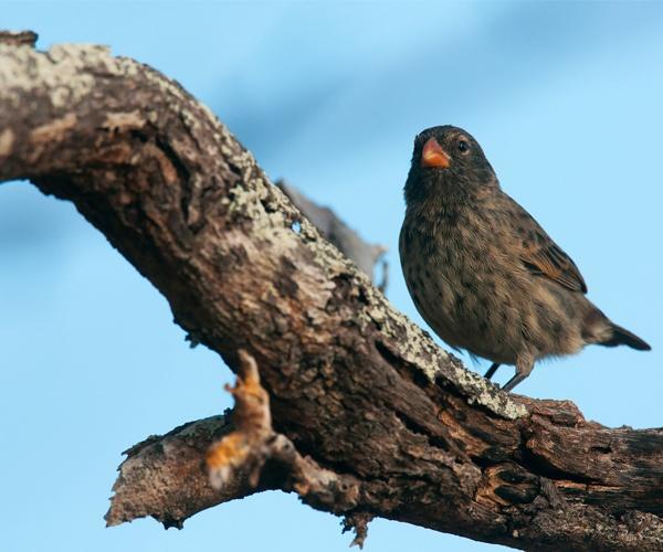 Finch Galapagos