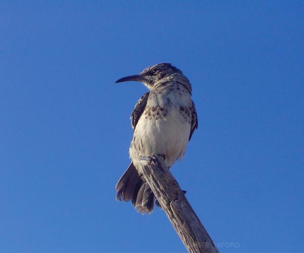 Mockingbird Galapagos