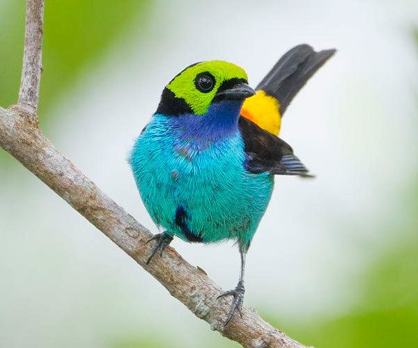 Paradise-Tanager