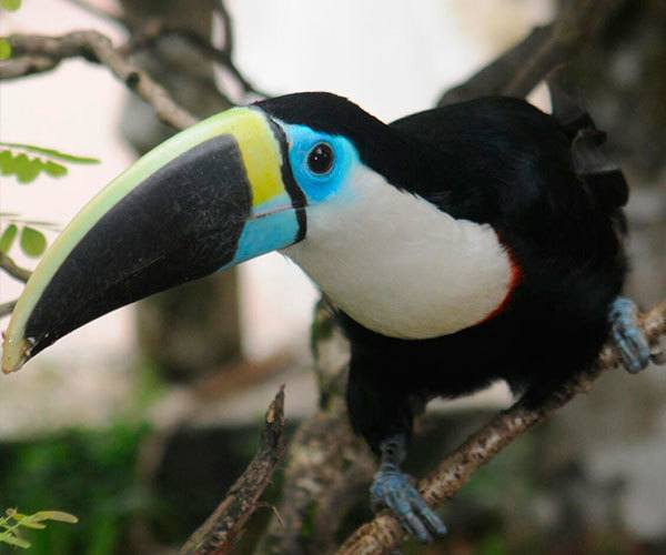 White-Throated-Toucan