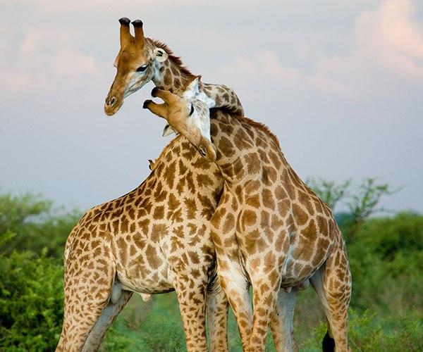 Giraffe couple neck hugging