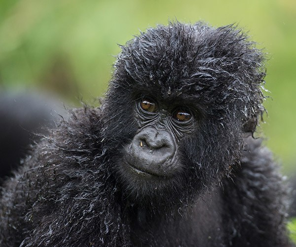 Wet baby gorilla with curly fur