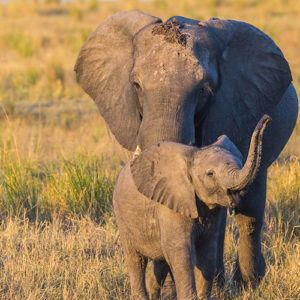 Mother and baby african elephant in Botswana